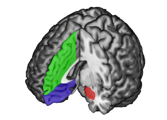 En Verde y Morado la Corteza Prefrontal Medial. En Rojo la Amígdala.