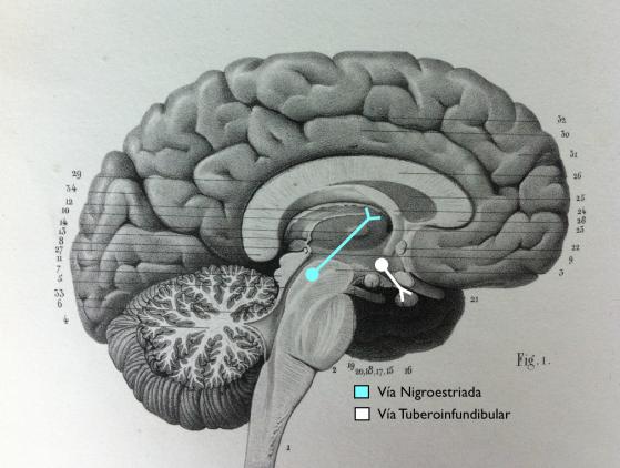 Vías Nigroestriada (para el Control Fino de los Movimientos) y Tuberoinfundibular (para la Inhibición de la Secreción de Prolactina). Estas Vías Dopaminérgicas No se ven afectadas en la Esquizofrenia.